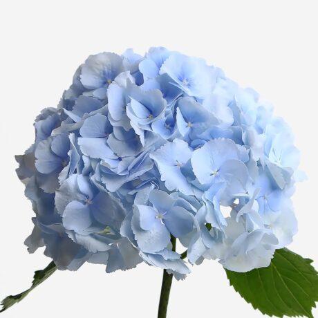 Синие гортензии поштучно