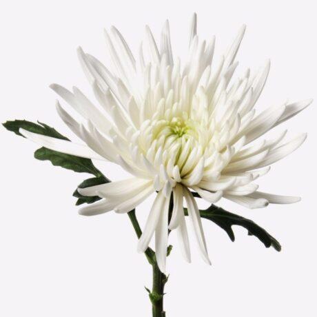 Белые одноголовые хризантемы поштучно