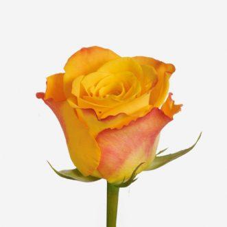Кенийские розы поштучно