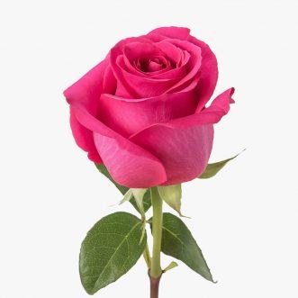 Эквадорские розы поштучно